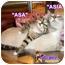 Photo 3 - Siamese Cat for adoption in Cedar Creek, Texas - Asia