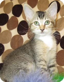 Abyssinian Kitten for adoption in Schertz, Texas - Polka Dot