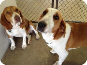 Basset Hound/Beagle Mix Dog for adoption in Winter Haven, Florida - Taz & Sadi