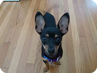 Chihuahua Mix Puppy for adoption in San Diego, California - Carter