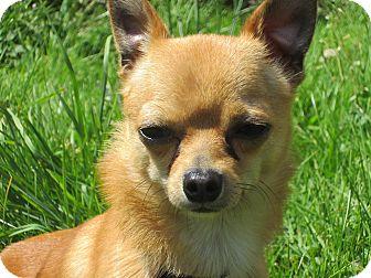 Chihuahua Dog for adoption in Tillamook, Oregon - Pedro