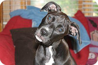 Boxer Mix Puppy for adoption in ARDEN, North Carolina - Jezi