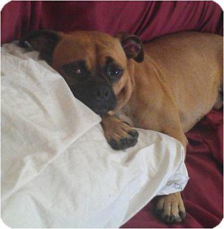 Pug Mix Dog for adoption in Houston, Texas - Dexter