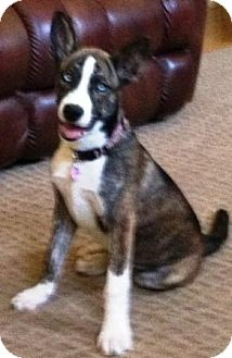 Husky/German Shepherd Dog Mix Puppy for adoption in Gilbert, Arizona - Athena