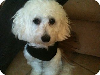 Maltese/Poodle (Miniature) Mix Puppy for adoption in Rancho Mirage, California - Bella