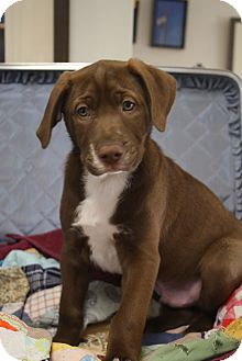 Labrador Retriever Mix Puppy for adoption in Marietta, Georgia - Finnegan