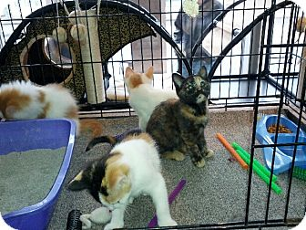 Domestic Shorthair Kitten for adoption in Toronto, Ontario - Lucy (aka Mitzy)