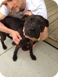 Labrador Retriever/American Staffordshire Terrier Mix Dog for adoption in Laingsburg, Michigan - Brian