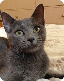 Russian Blue Cat for adoption in Brooklyn, New York - Goose