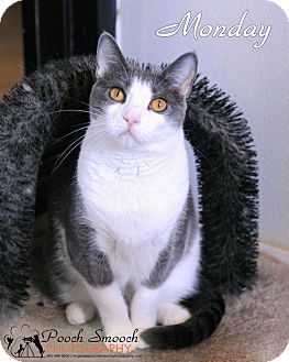 Domestic Shorthair Cat for adoption in Broadway, New Jersey - Monday
