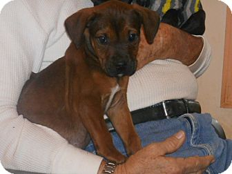 Boxer/Labrador Retriever Mix Puppy for adoption in Buford, Georgia - Hershey