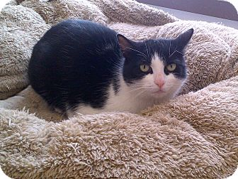 Domestic Shorthair Cat for adoption in Cannington, Ontario - Daisy