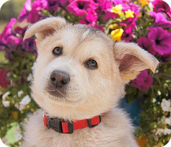 German Shepherd Dog/Husky Mix Puppy for adoption in Thousand Oaks, California - Gillespie von Jazzie