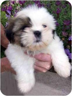 Shih Tzu Puppy for adoption in Los Angeles, California - PUCCINI