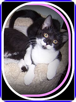 Domestic Shorthair Kitten for adoption in South Plainfield, New Jersey - PENNY - SUCH A SWEETHEART!!