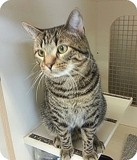 Domestic Shorthair Cat for adoption in Germantown, Maryland - Bart - Loves Dogs