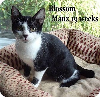 Manx Kitten for adoption in Bentonville, Arkansas - Blossom