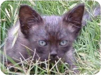 Domestic Shorthair Kitten for adoption in San Diego, California - Marlin