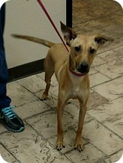 Whippet/Terrier (Unknown Type, Medium) Mix Dog for adoption in Oviedo, Florida - Zinger