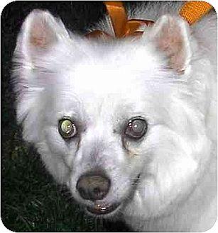 American Eskimo Dog/Spitz (Unknown Type, Medium) Mix Dog for adoption in Downey, California - Pinky