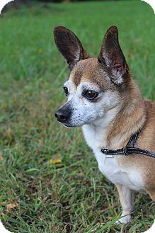 Chihuahua Mix Dog for adoption in Waldorf, Maryland - Peanut