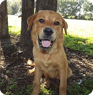 Labrador Retriever Mix Dog for adoption in LAFAYETTE, Louisiana - ABBEY MAE