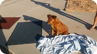 Spaniel (Unknown Type) Mix Dog for adoption in Mesa, Arizona - LEO 7 YR SPANIEL MALE