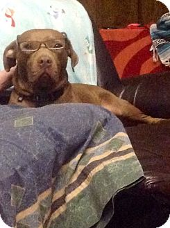 Labrador Retriever/American Staffordshire Terrier Mix Dog for adoption in Houston, Texas - ROSCOE