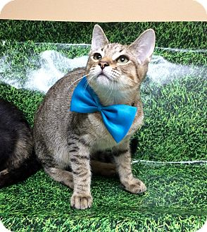 Domestic Shorthair Kitten for adoption in Hialeah, Florida - Charlie