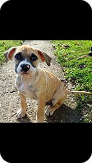 Boxer Mix Puppy for adoption in DeForest, Wisconsin - Pan