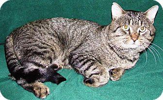 Domestic Shorthair Cat for adoption in Watauga, Texas - Hoss