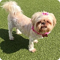 Shih Tzu Mix Dog for adoption in Whitestone, New York - Miss Cloud