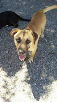 Shepherd (Unknown Type) Mix Dog for adoption in Nogales, Arizona - Willy