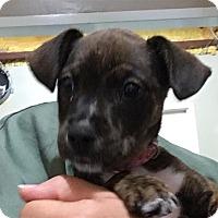 Adopt A Pet :: 17-07-2250 Sophia - Dallas, GA