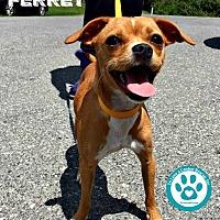 Adopt A Pet :: Ferret - Kimberton, PA