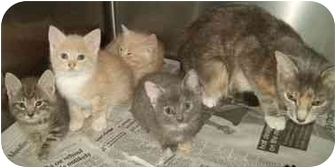 Domestic Shorthair Kitten for adoption in North Judson, Indiana - Cathy's Kittens