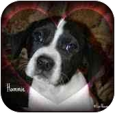 Beagle/Boxer Mix Puppy for adoption in Portland, Maine - Hammie