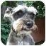 Photo 1 - Schnauzer (Miniature) Dog for adoption in Redondo Beach, California - Chelsea