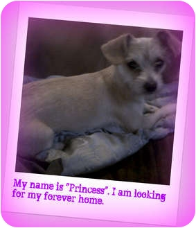 Chihuahua/Terrier (Unknown Type, Small) Mix Dog for adoption in Jacksonville, Florida - Princess