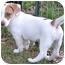 Photo 2 - Beagle/Dachshund Mix Puppy for adoption in Windham, New Hampshire - Tony