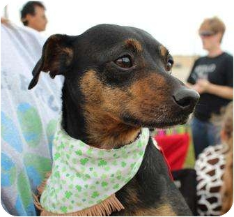 Miniature Pinscher/Chihuahua Mix Dog for adoption in justin, Texas - Bacon