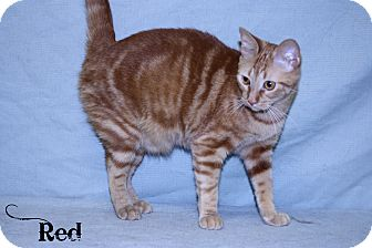 Domestic Shorthair Cat for adoption in Kerrville, Texas - Red