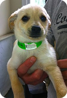 Chihuahua Mix Puppy for adoption in Danbury, Connecticut - Crunch