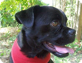 Pug/Terrier (Unknown Type, Small) Mix Dog for adoption in Fennville, Michigan - Vito