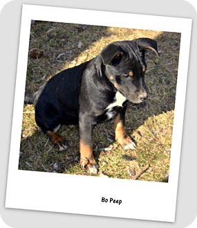 Shepherd (Unknown Type)/Rottweiler Mix Puppy for adoption in Wapato, Washington - Bo Peep