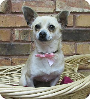 Chihuahua Dog for adoption in Benbrook, Texas - Winnie