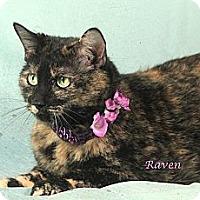 Adopt A Pet :: Raven - Kerrville, TX