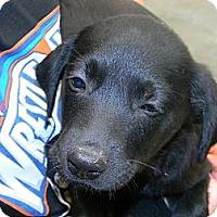 Adopt A Pet :: puppies - cameron, MO