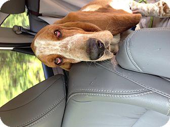 Basset Hound Dog for adoption in Columbia, South Carolina - Willie