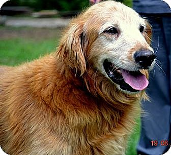 Golden Retriever Mix Dog for adoption in White River Junction, Vermont - Murphy